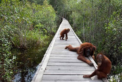 tak jarang banyak sekali para wisatawan dari dalam negeri maupun mancanegara yang datang ke wisata taman nasioanal tanjung puting ini